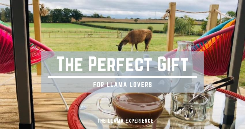 A lLama Experience is the Perfect Gift for People who Love LLamas - The LLama Experience