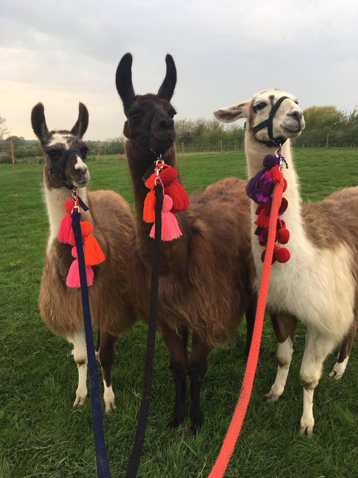 the boys all ready for a walk - The Llama Experience