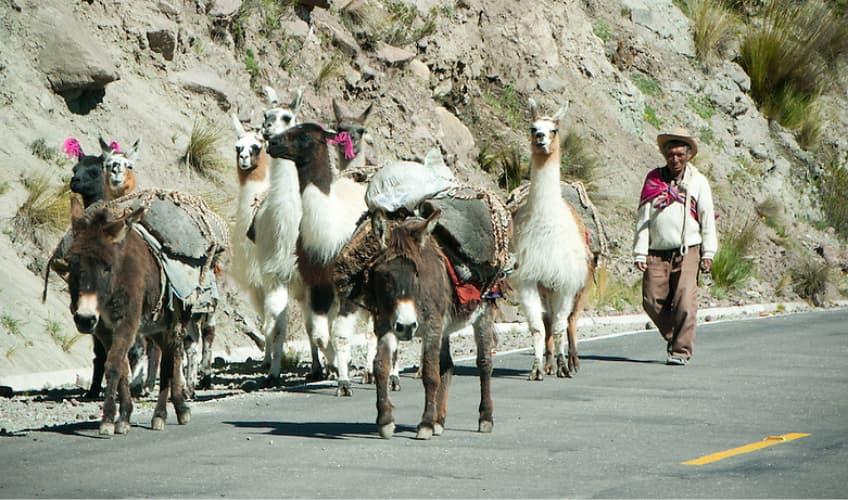Working llamas Carring Packs in Peru - The Llama Experience