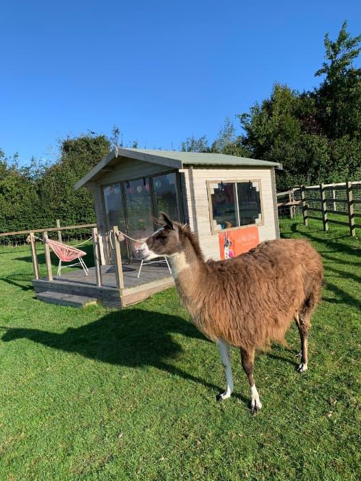 Llama Lounge - The Llama Experience