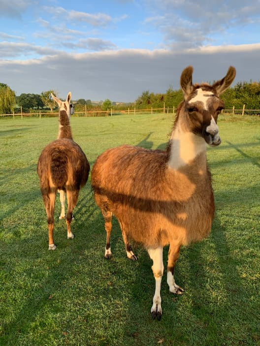 The Llamas in Field at Llama HQ - The Llama Experience